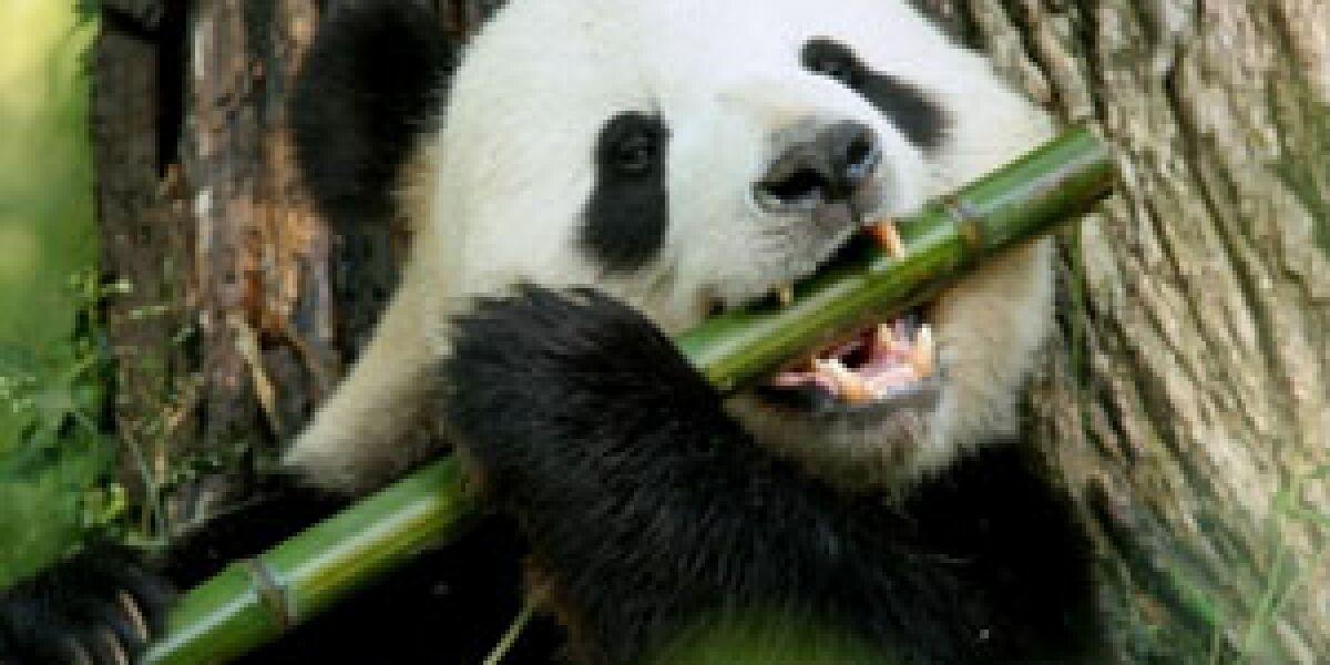 Googles Panda-Update und die Folgen (Foto: istockphoto.com/mrbfaust)