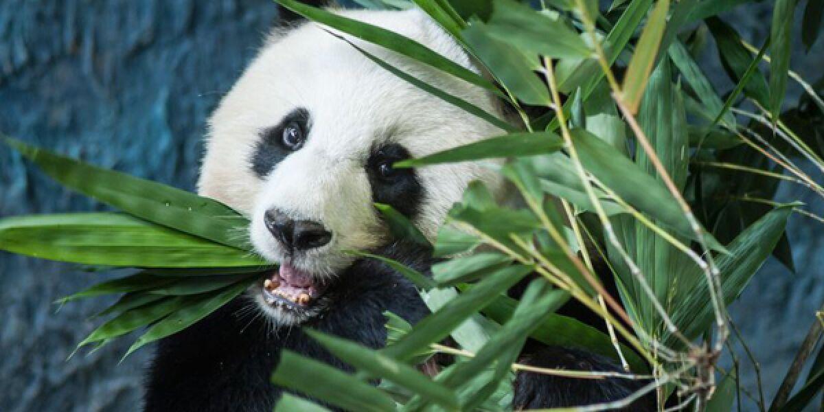 Pandabär frisst Bambus